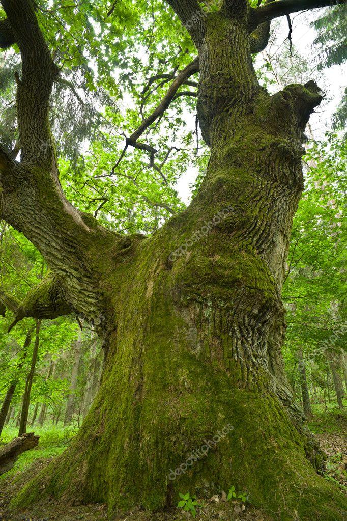 Huge oak.