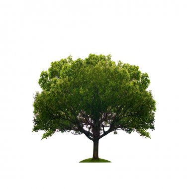 Old green tree isolated
