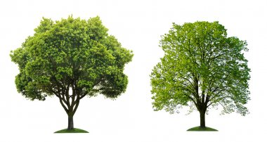 Two green tree on white background