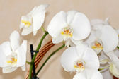Fotografie Beautiful white orchid flowers