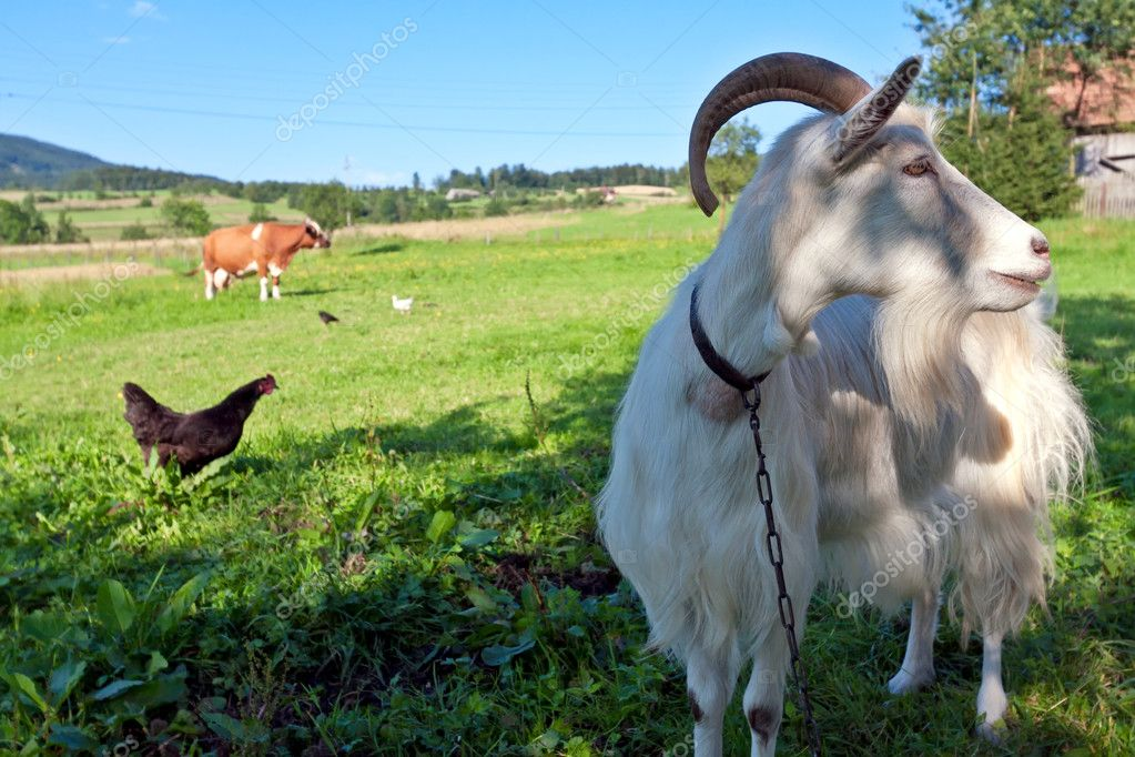 Goat and farm animals