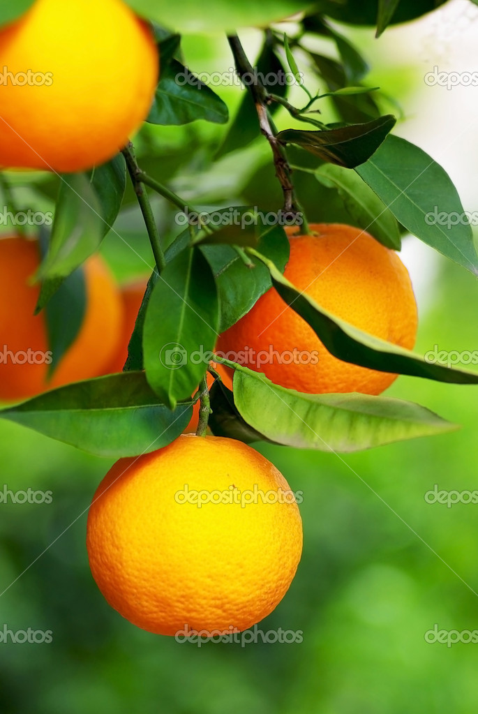 Mature oranges .