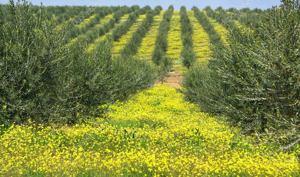 Olives tree .