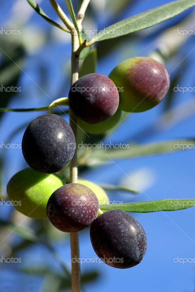 Olives of the south