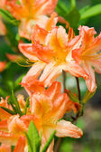 Rhododendron, orange flowers