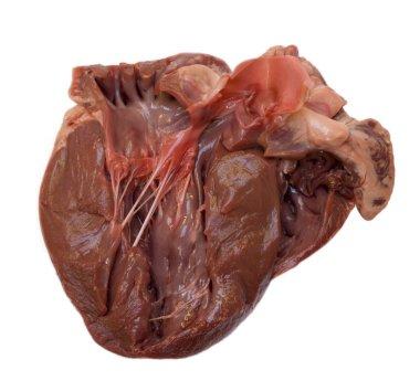 Section through swine heart