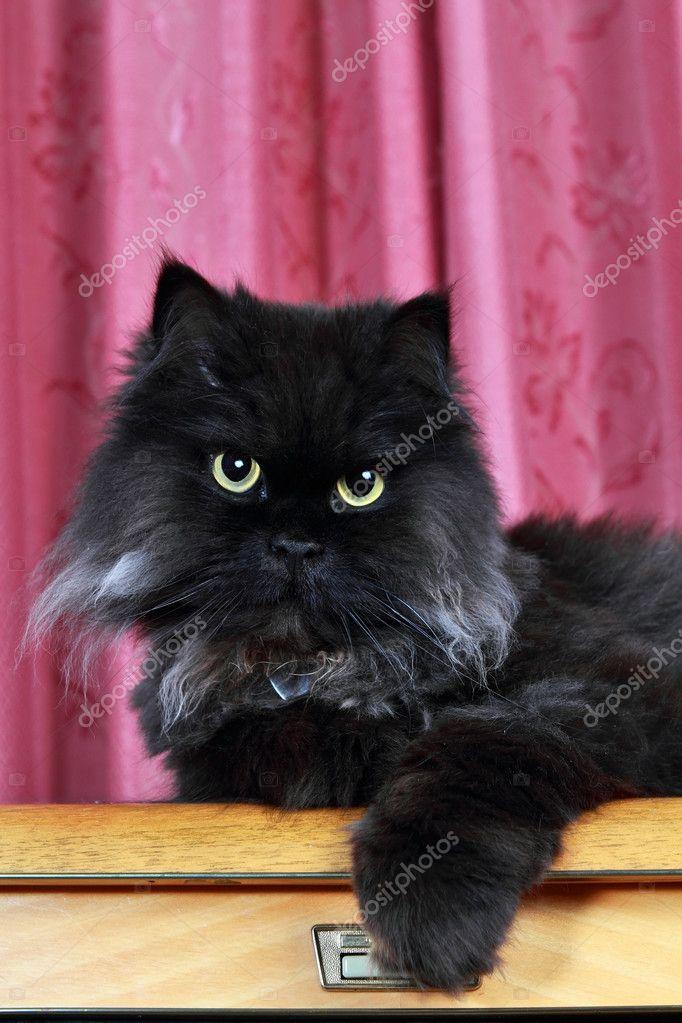 Czarny Kot Perski Pozowanie Zdjęcie Stockowe Zlatan 3467025