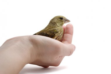 Greenfinch on arm