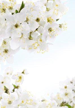 White flowers, jasmine bouquet on blue background stock vector
