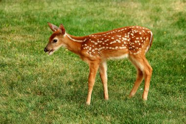 Young fawn and human hand