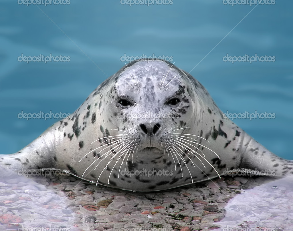 Harp seal looking at camera