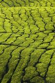 Fotografia trama di piantagione di tè