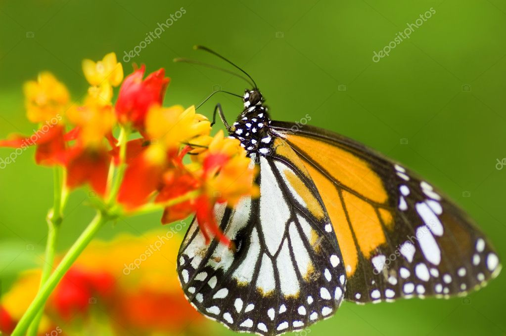 Monarch butterfly feeding on flower