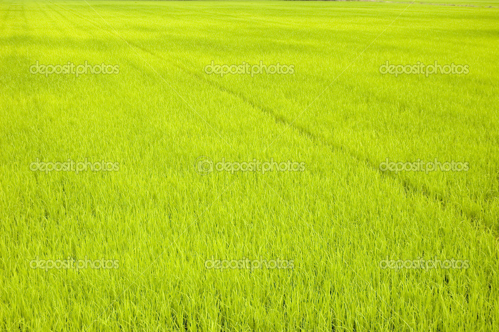 Green paddy field (early stage)