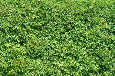 Green plants fence