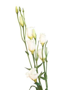 White eustoma on the white background stock vector