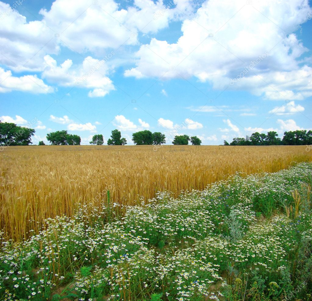 A field of mature wheat