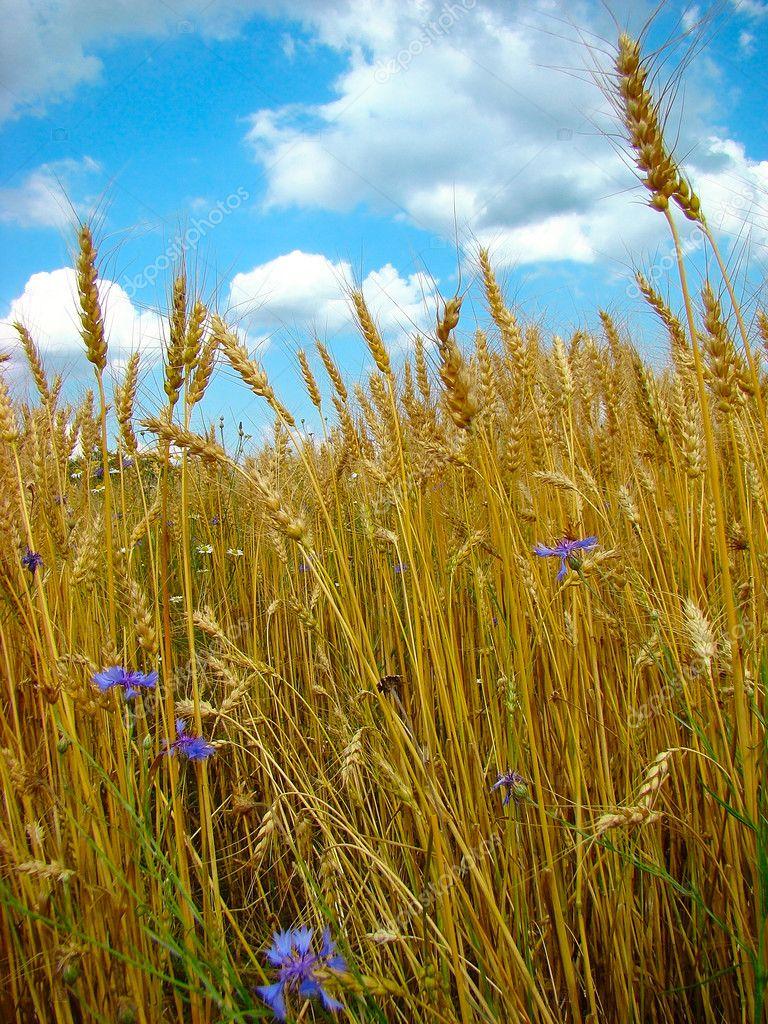 Cornflowers in wheat