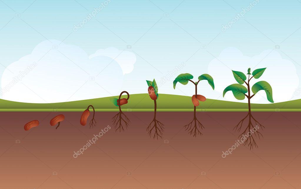 Seedling / Growing plant process