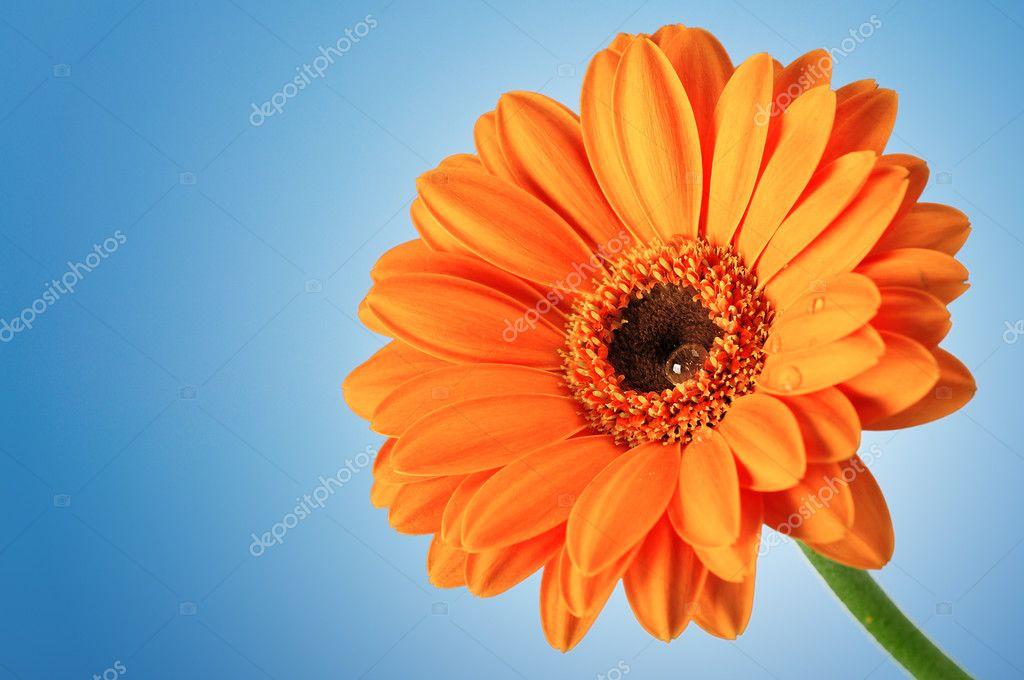 Ромашка оранжевая цветок фото
