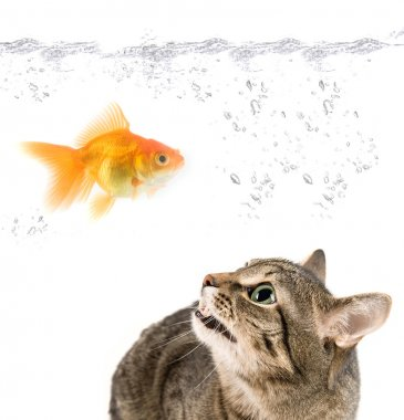 Angry cat and gold fish on white stock vector
