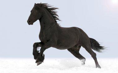 Galopping Friesian horse
