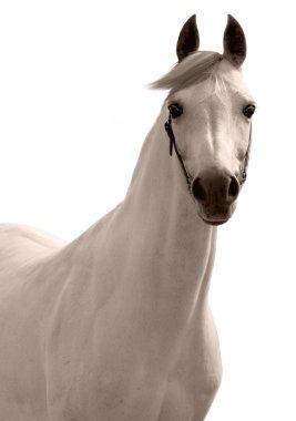 White arabian horse isolated