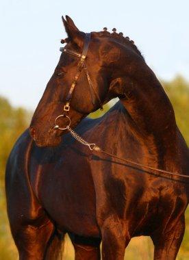 Black stallion at sunset