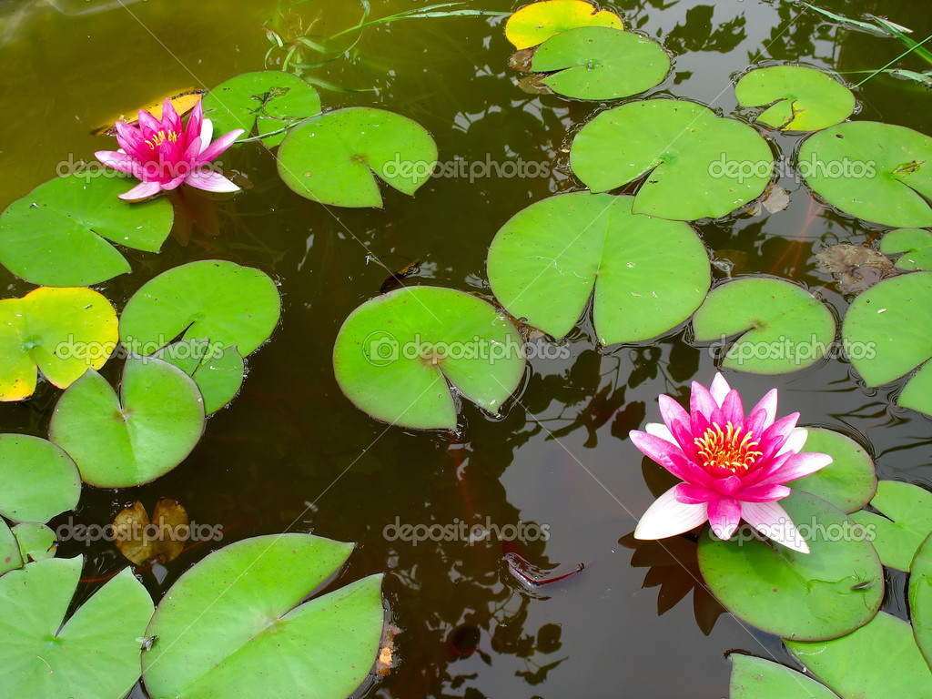 Red water lily lotus flower and green leaves stock photo arogant red water lily lotus flower and green leaves growing in a pond photo by arogant izmirmasajfo