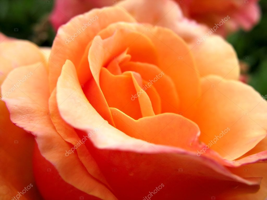 Beautiful rose fresh petails bloom macro