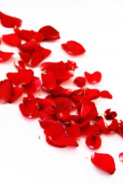 Petals of a red rose scattered on a white background stock vector