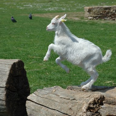 Baby Goat jumping