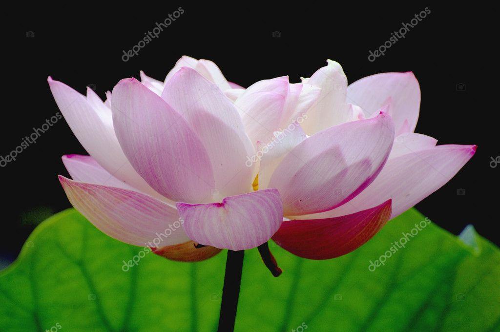 Big lotus flower stock photo zenjung 3553950 big lotus flower stock photo mightylinksfo