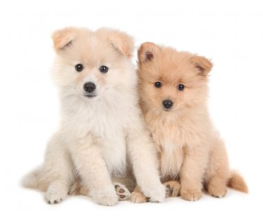 Cute Pomeranian Puppies Sitting Together on Whit