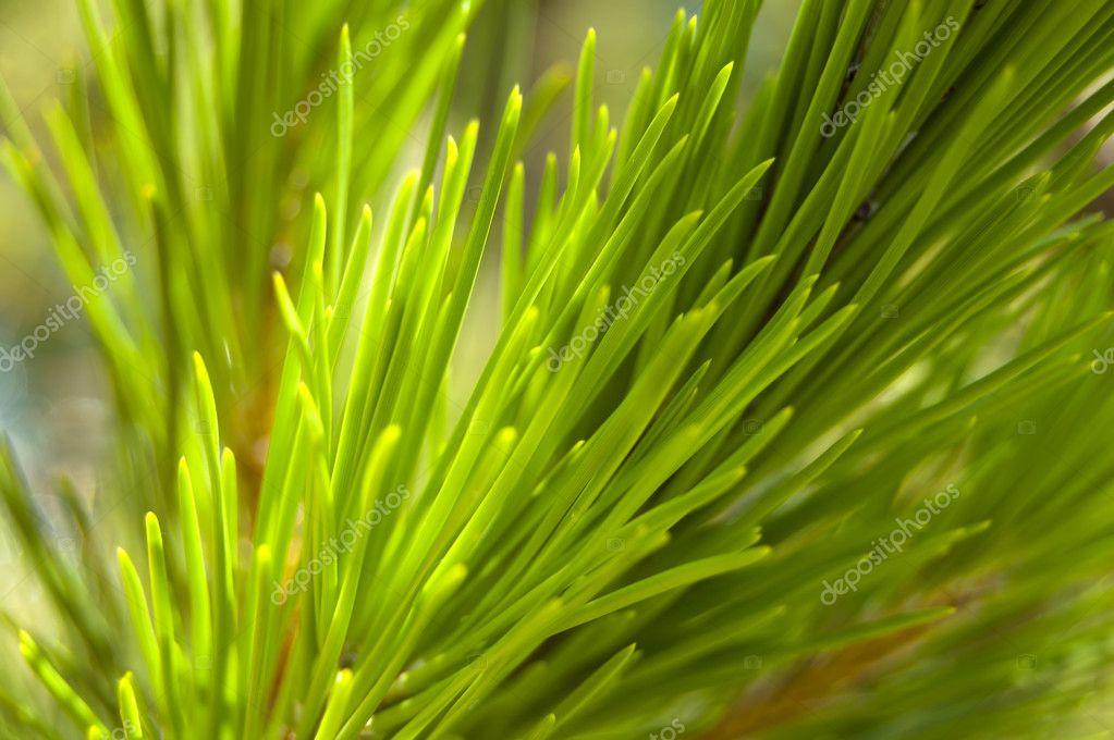 Macro on a pine
