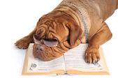 velký pes, čtení knihy