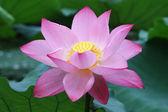 Fotografie blühende lotusblume