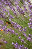 Fényképek levendula virág Polárszűrő