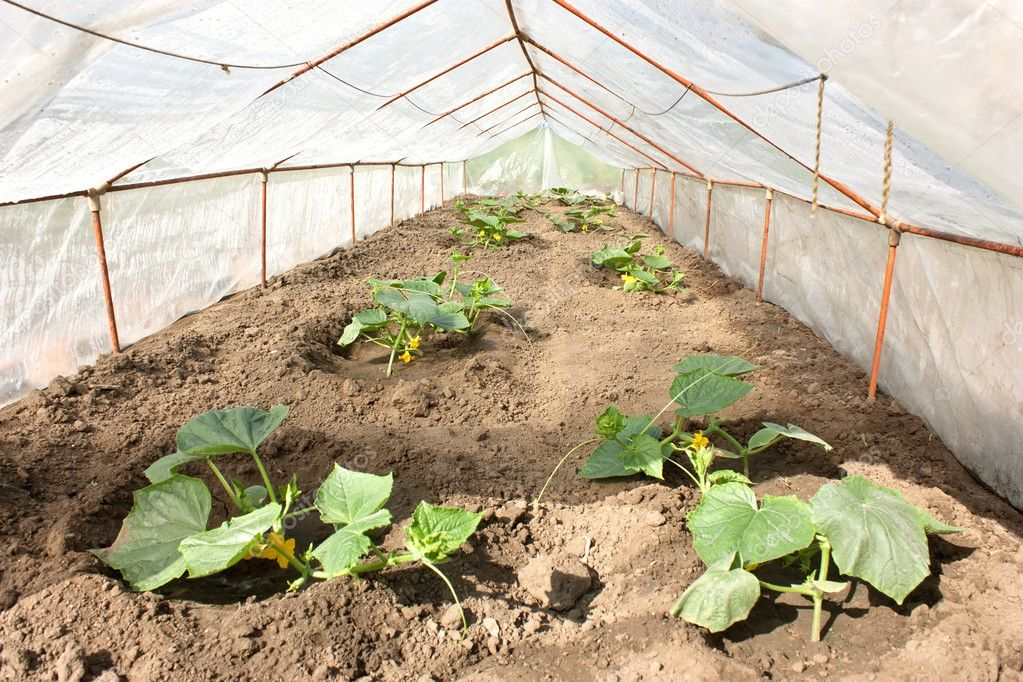 gurken pflanzen im gew chshaus stockfoto veranis 3185355. Black Bedroom Furniture Sets. Home Design Ideas