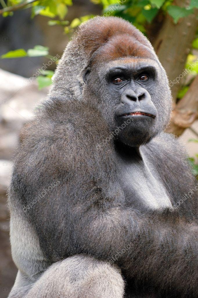 Gorilla is posing