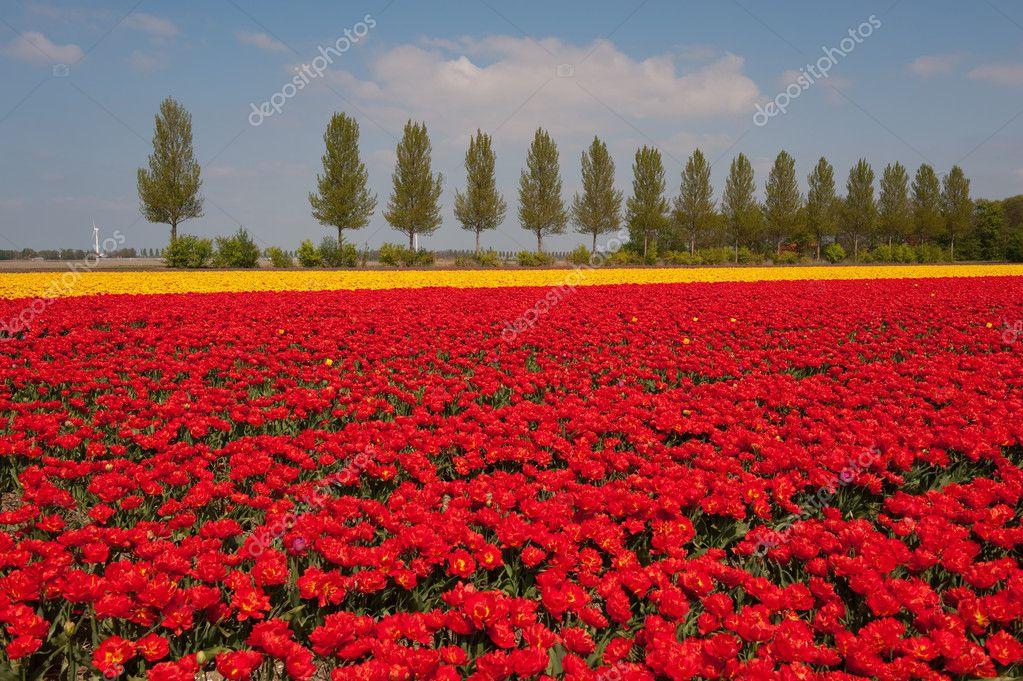 Paesaggio con tulipani rossi e gialli u2014 foto stock © ivonnewierink