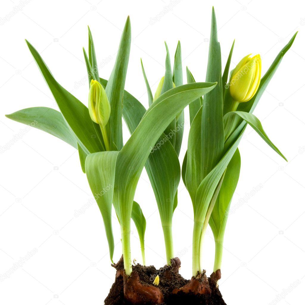 Yellow Flower Bulbs Stock Photo Ivonnewierink 2939809