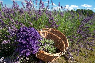 Picking Lavender