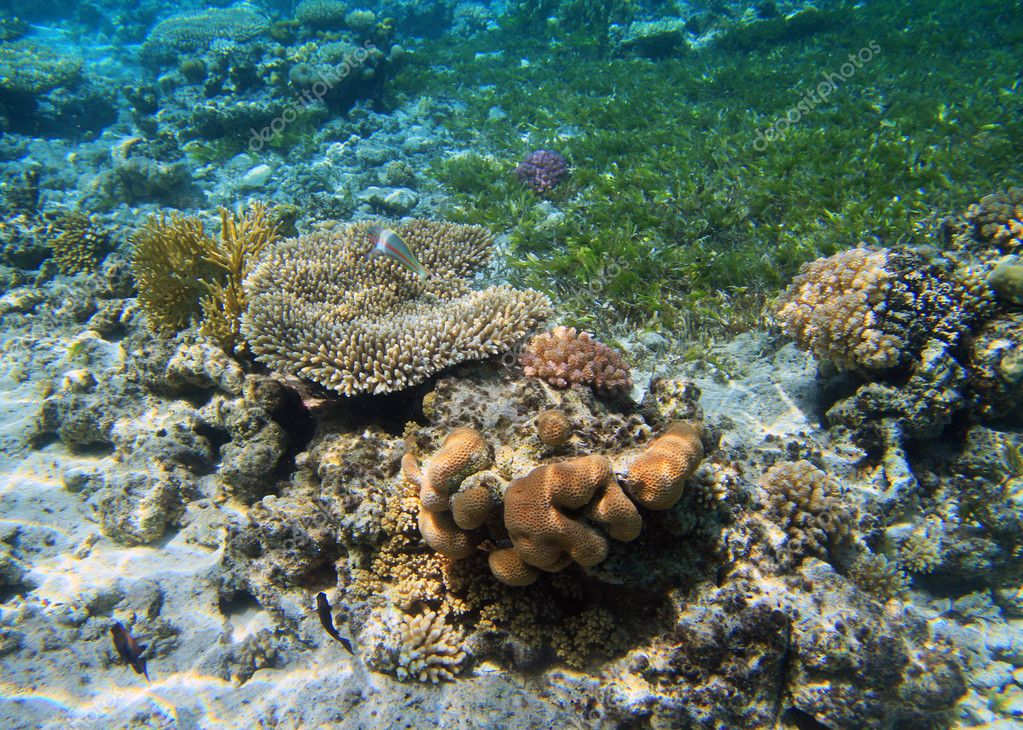 Coral reef and fishes in Red Sea