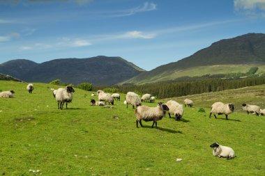 Sheep of Connemara mountains