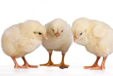 Three Young Chicks