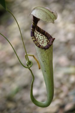 Pitcher plants of highland Borneo