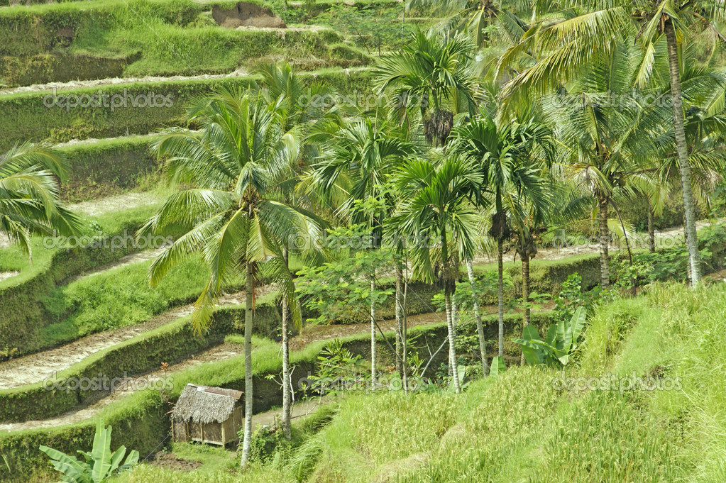 Bali. Rice fields grown up by terraces.