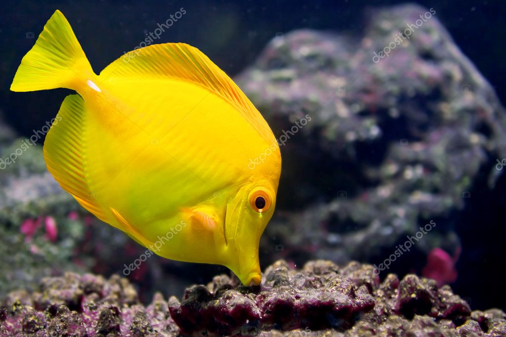 YellowTang01