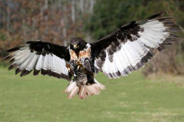 Jackal Buzzard Bird in Flight